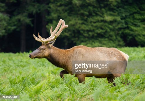 Bull Elk : Stock Photo
