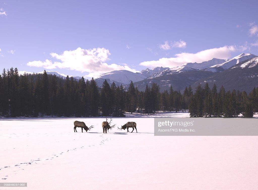 Bull elk (cervus elaphus) standing in snow covered landscape : Stock Photo