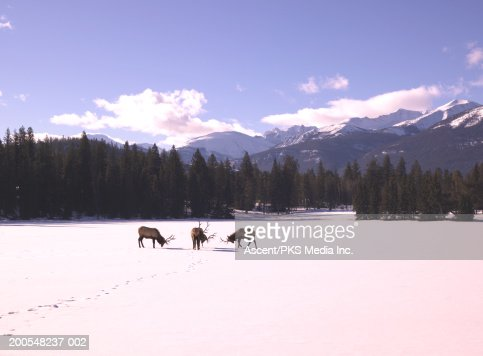 Bull elk (cervus elaphus) standing in snow covered landscape : Stock Photo