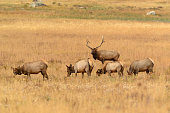 Bull elk watching over his herd of female cows during the fall run in the Rocky Mountains.