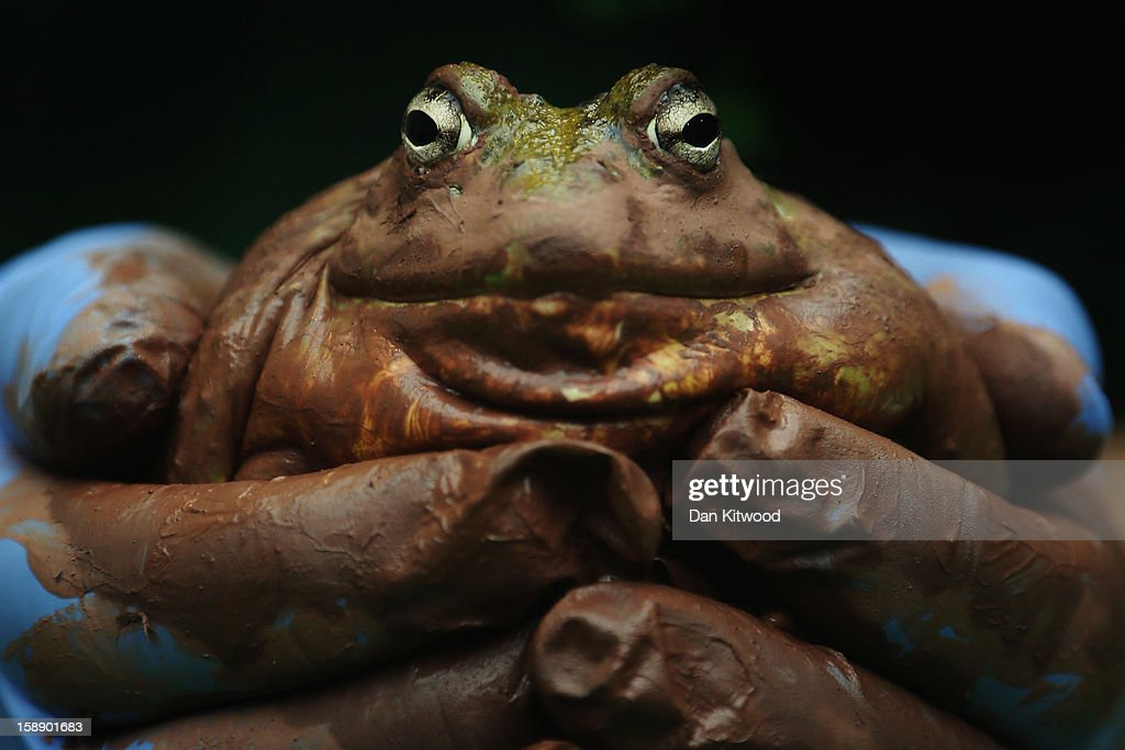A Bull Frog is held during London Zoo's annual stocktake of animals on January 3, 2013 in London, England. The zoo's stocktake takes place annually, and gives keepers a chance to check on the numbers of every one of the animals from stick insects and frogs to tigers and camels.