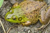 Muddy green bull frog resting in its natural habitat