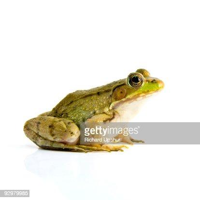 Bull Frog : Stock Photo