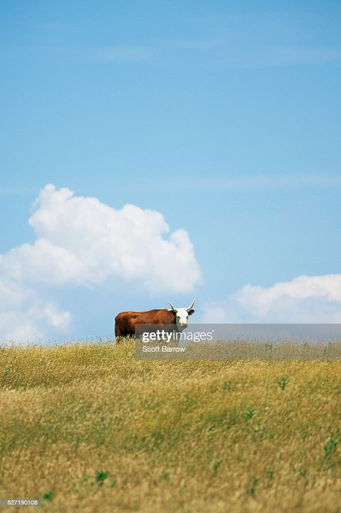 Bull in a field : Stockfoto