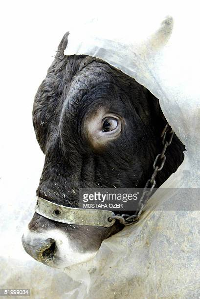 A bull looks out of the torn shelter in a market at Kurucesme in Istanbul for the Muslim Festival of Sacrifice 16 January 2005 Official cattle...