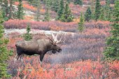 Larger Bull Moose in the beautiful fall color in Denali National Park Alaska.