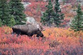 Larger Bull Moose in the beautiful fall color in Denali National Park Alaska