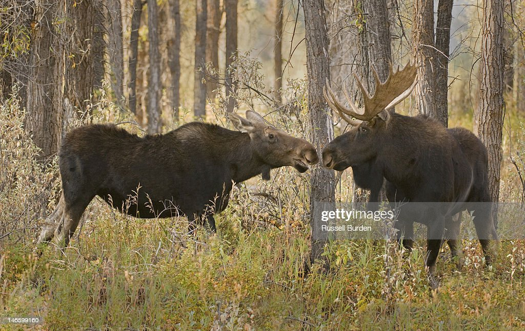 Bull moose and cow kissing in forest : Stock Photo