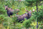 A bull moose and cow moose