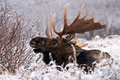 A bull moose calls out a challenge from his bed amidst the season's first snow in Alaska's Chugach State Park.