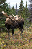 Bull Moose - Chugach National Park, Alaska