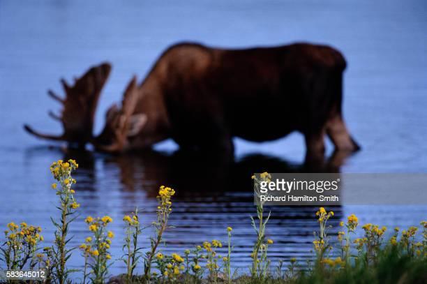 Bull Moose Feeding in Pond