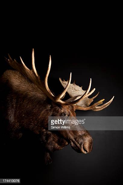 Bull Moose Head with Antlers