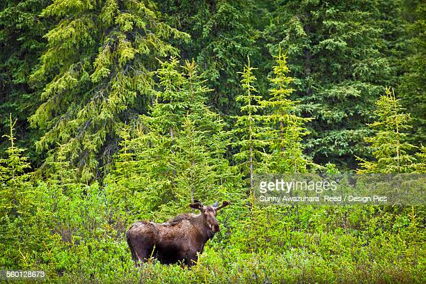 Bull moose in boreal forest along the Denali Highway, Southcentral Alaska, Summer.