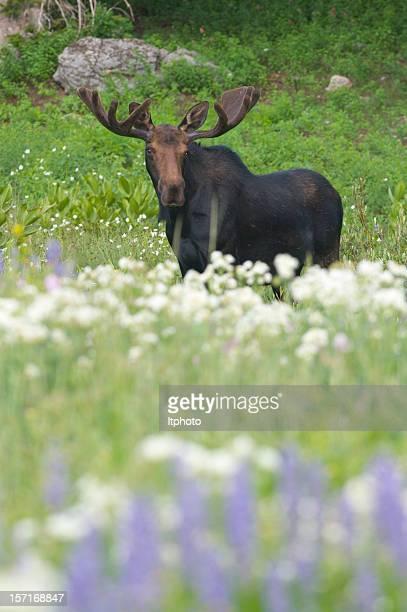 Bull Moose in Flowers