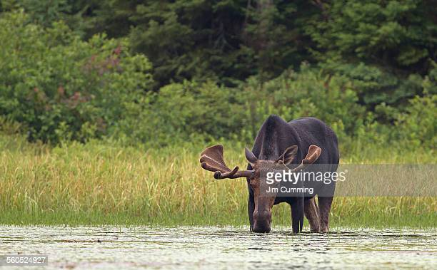 Bull moose in marsh
