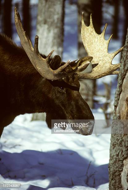 Bull Moose im winter