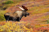 Bull moose looks across colorful tundra in Denali Wilderness,
