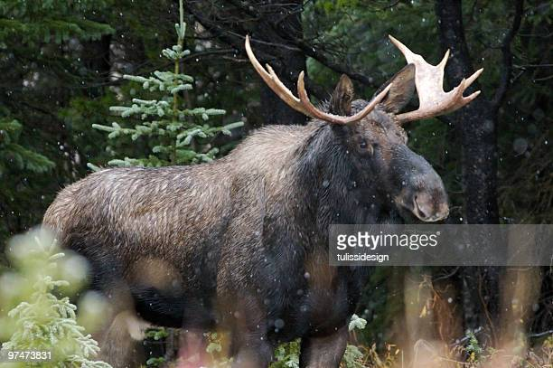 A Bull Moose Outside in the snow