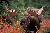 Bull moose (Alces alces) feeds on fall foliage (Dwarf Birch), Denali Nat'l Park, Alaska.