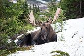 Alaska bull moose in the wild