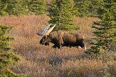 Alaska bull moose in the wild dring the fall in denali national park