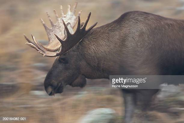 Bull moose (Alces alces), side view (blurred motion)