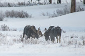 Moose sparring in extreme winter conditions. Sparring to knock off thise antlers. One bull has lost his left paddle.