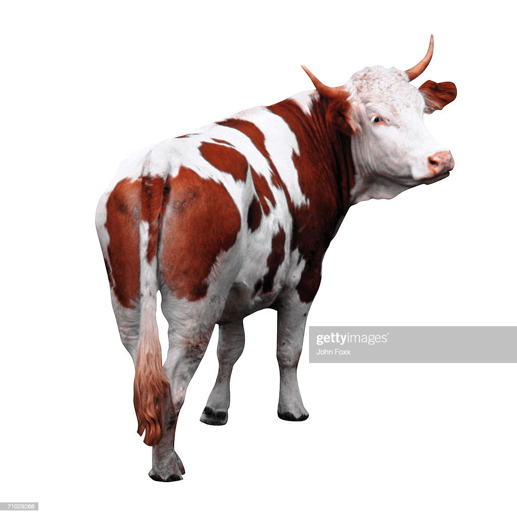 bull : Stock Photo
