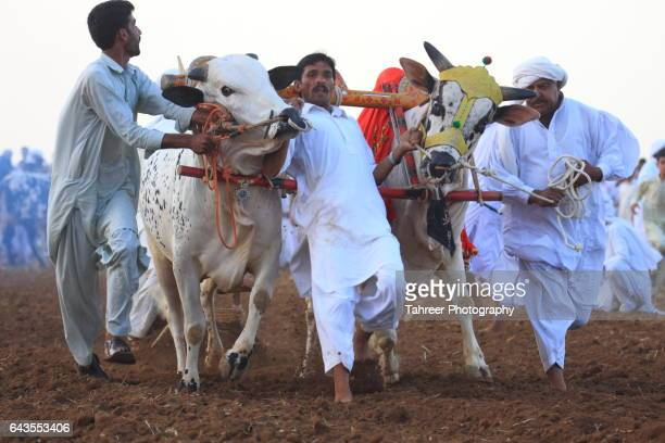 Bull Race in Punjab