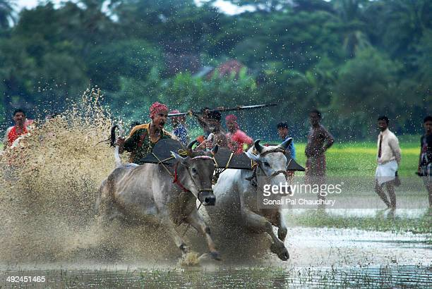 CONTENT] Bull race known locally as Moichhara is popular in rural Bengal and takes place in muddy paddy fields before sowing begins in the monsoonA...