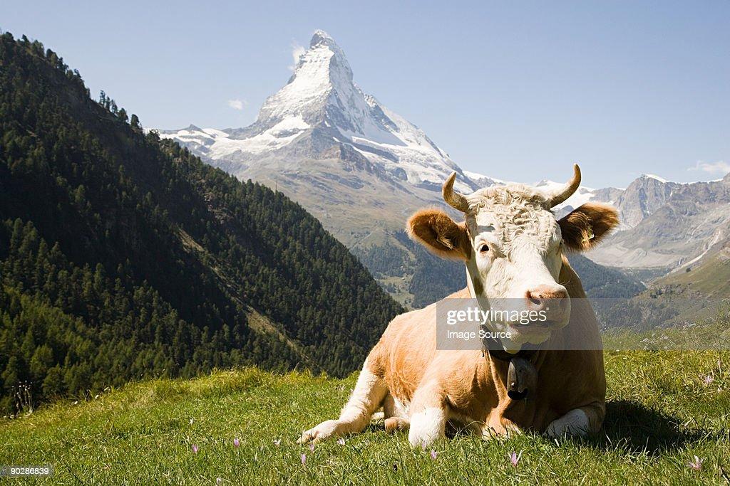 Bull resting on a hillside : Stock Photo