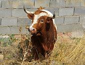 Bull running in the field