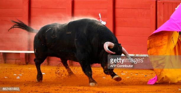 A bull rushes toward the muleta of Spanish matador Enrique Ponce during a bullfight at the Maestranza bullring in Sevilla on September 23 2017 / AFP...
