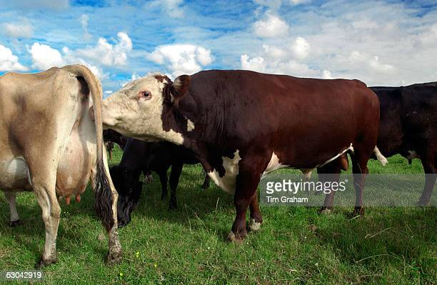Bull scenting cow on a farm near Waiuku on North Island in New Zealand