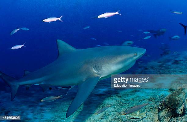 Bull Shark Carcharhinus leucas could be dangerous to humans often stays in the shallow water near the shore and in the estuaries of rivers Here in...
