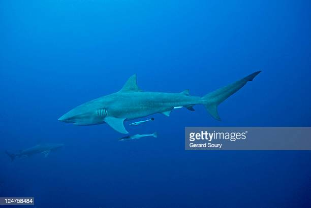 Bull shark (Carcharhinus leucas) Mozambique, Indian Ocean