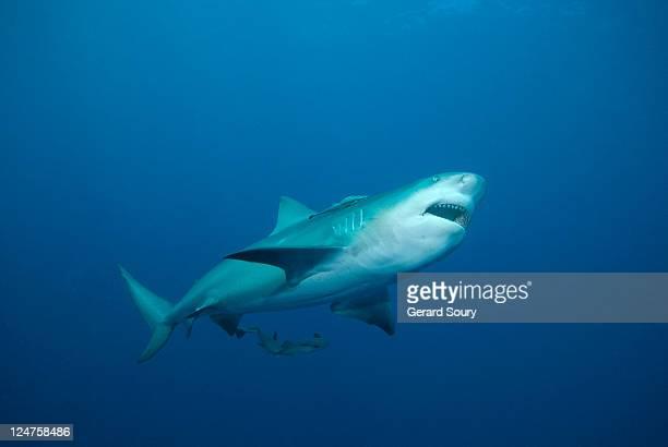 Bull shark (Carcharhinus leucas) Mozambique, Indian Ocean