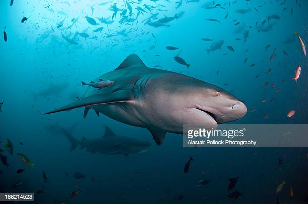 Bull shark with school of fish