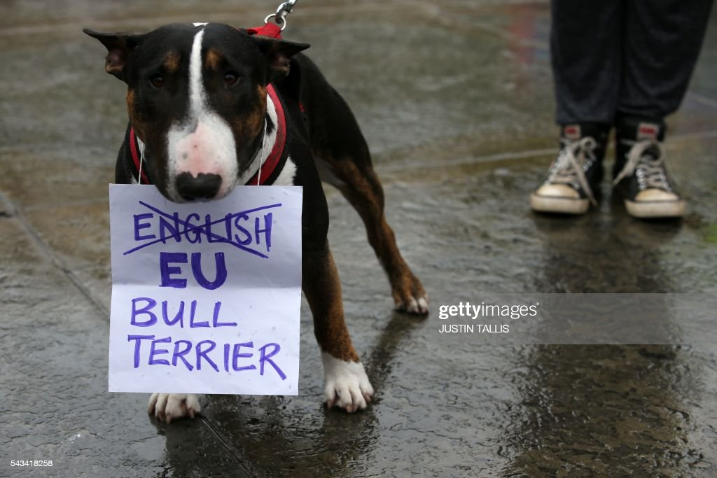 A Bull Terrier called 'T-Bone' holds a placard in his mouth at an anti-Brexit protest in Trafalgar Square in central London on June 28, 2016. EU leaders attempted to rescue the European project and Prime Minister David Cameron sought to calm fears over Britain's vote to leave the bloc as ratings agencies downgraded the country. Britain has been pitched into uncertainty by the June 23 referendum result, with Cameron announcing his resignation, the economy facing a string of shocks and Scotland making a fresh threat to break away. / AFP / JUSTIN