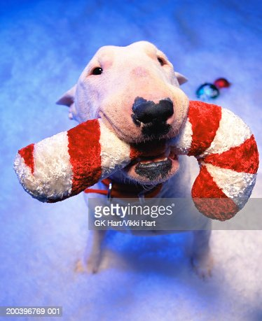 Bull terrier holding Christmas cane in mouth, sitting in snow : Stock Photo