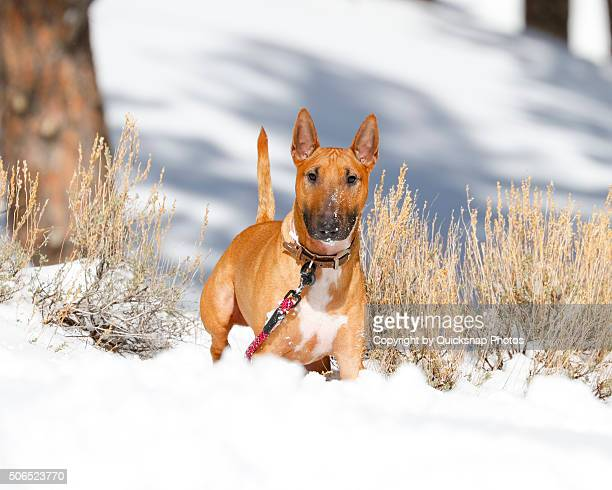Bull Terrier posing in the snow