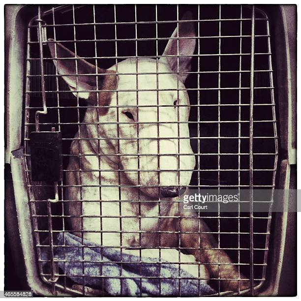 A Bull Terrier rests in its cage on the third day of Crufts dog show at the National Exhibition Centre on March 7 2015 in Birmingham England First...
