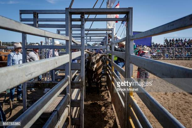 Bull waits in a pen during the Deni Rodeo at the 2017 Deni Ute Muster on September 30 2017 in Deniliquin Australia The annual Deniliquin Ute Muster...