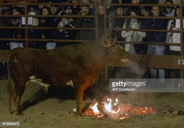 A bull which got rid of flammable balls that were attached to its horns is pictured during the 'Toro de Jubilo' festival in Medinaceli near Soria...