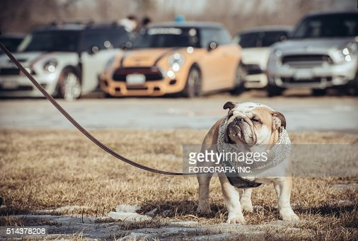 Bulldog and  MINIs