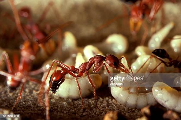 Bulldog ant Myrmecia gulosa worker in observation nest Australia