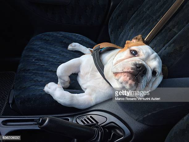bulldog as a funny comfortable car passenger