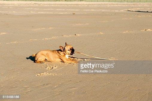 Bulldog at beach of Mimizan Landes department in France
