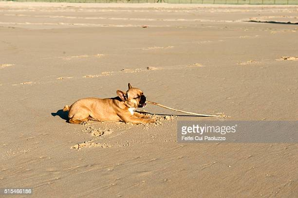 Bulldog at beach of Mimizan Landes department in France